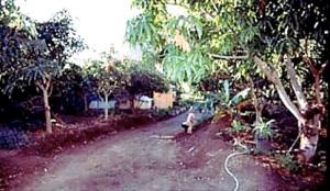 2002 argayall - mango monoculture allelopathy shade